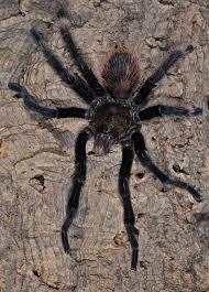Do Tarantulas Shed Their Fangs by Postultimate Molt In A Male Honduran Curlyhair Tarantula