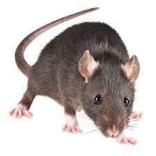 souris dans la maison c est simple et facile