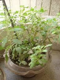 Plants In Bathroom According To Vastu by Vastu Tips For Plants And Trees Plants Vastu Vastu Plants