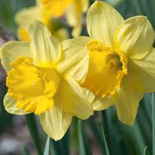 daffodil bulbs item 3007 fortune ls for sale