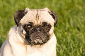do pugs and puggles shed how to minimize shedding in pugs pets