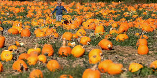 Lane Farms Pumpkin Patch by Thriving East Valley Pumpkin Patch Scene