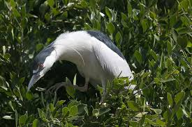 Wildlife Experts Hope Plan To Relocate Oakland Herons Will Fly - SFGate Video A Look At Raiders Qb Derek Carrs New Monster Receiver Jam Tickets Cheap Truck Carr And Family Have Monster Fun With Colt Stephens Team Lovehate Invades Stlouis Sucked Pics Svtperformancecom Ncaa Football Headline Tuesday On Sale 2017 Scream Results Avenger Brutus Rage Wrecking Crew Axe Announces Driver Changes For 2013 Season Trend News Oracle Arena Oakland Coliseum In San Francisco Jam Oakland October 2018 Added A Photo Facebook