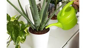 experten klären auf mit diesen pflanzen im zimmer schlafen