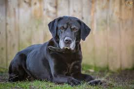 Small Non Shedding Dogs For Seniors by Five Suggested Dog Breeds For Older People Pets4homes