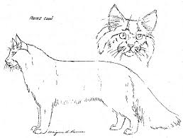 forest cat vs maine coon solacefarm siberian cat library differences between the siberian