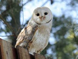 Barn Owls Have Ears That Don't Age How To Build A Barn Owl Nest Modern Farmer Best 25 Owls Ideas On Pinterest Beautiful Owl Owls And Audubon Field Guide John James Audubons Birds Of America Or Buy Box Company Tyto Alba Species Tips Encouraging 1861 Best Snowy Saw Whets Images The Australia Australian Geographic 539 Owls Tattoos
