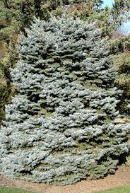 Canaan Fir Good Christmas Tree by The Perfect Christmas Tree Garden Housecalls