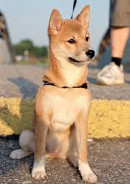 Non Shedding Dogs Small To Medium by Short Hair Dog Shedding Medium Size Short Hair Dog Breeds Picture