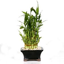 Winterberry Christmas Tree Home Depot by Brussel U0027s Bonsai Pyramid Bamboo Dt 0139lbp2 The Home Depot
