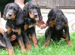 Red White Irish Setter Shedding by Gordon Setter Info Temperament Care Training Puppies Pictures
