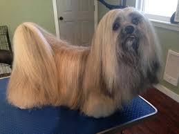 Shih Tzu Lhasa Apso Shedding by Gallery Julia U0027s Pet Spa