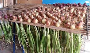 growing shallots and onions in container