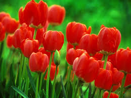 growing tulip bulbs how to plant and care for tulips clip