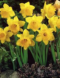 master daffodil value bag 82164