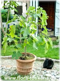 ficus carica violette feigen pflanzen feigenbaum