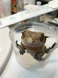 Halloween Harlequin Crested Gecko For Sale by Jb U0027s Crested Gecko Info Pets Reptiles Pinterest Crested