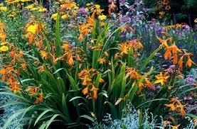 crocosmia montbretia hummingbirds them garden ideas