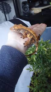 Baby Halloween Crested Gecko by Female Year Old Halloween Crested Gecko Epsom Surrey Pets4homes