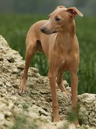 Do Italian Greyhounds Shed A Lot by Italian Greyhound Health Problems Feeding Raising A Puppy