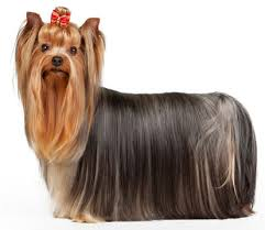 Low Shedding Dogs List by Yorkshire Terrier Easiest To Train Small Dogs Dogs Low