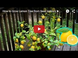 how to grow lemon tree from seed indoors fast germination