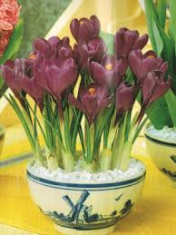 crocus flower kit indoor plant flower bulbs farmer