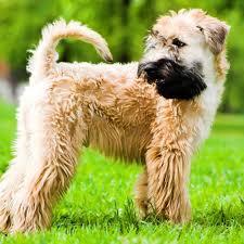 soft coated wheaten terrier puppy soft coated wheaten terrier