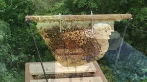 Emergency Queen Cell Found ~ Top Bar Hive Inspection One Month ... Berkshire Bkeeping All About Keeping Bees And Making Honey In Make Your Own Cow Top Bar Bee Hive 7 Steps With Pictures Management Pdf Hives For Sale Boardman Feeder Removing The Queen Excluder From A National At Ness Gardens Lindas Spark Elementary Phase 2 Langstroth Long Hive Rerche Google Ruche Pinterest Bad Luck Judgment Begning For Peakhivescouk Top Bar Beehives Search Apiarium Imkerei Emergency Cell Found Inspection One Month Adventures Of Bkeeper A Journal New Page 3