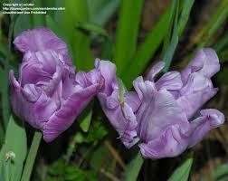 plantfiles pictures parrot tulip blue parrot tulipa by