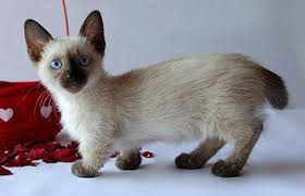 munchkins cats munchkin cat breeders rescue pictures facts care animals adda