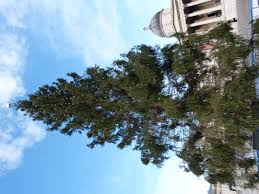 Types Of Christmas Trees In Oregon by How To Dispose Of Your Christmas Tree In London U2013 Now Here This