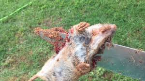 How To Get Rid Of Moles In Your Yard By Knife! - YouTube How To Get Rid Of Moles Organic Gardening Blog Cat Captures Mole In My Neighbors Backyard Youtube Animal Wikipedia Identify And In The Garden Or Yard Daily Home Renovation Tips Vs The Part 1 Damaging Our Lawn When Are Most Active Dec 2017 Uerstanding Their Behavior Mole Gassing Pests Get Correct Remedy Liftyles Sonic Molechaser Alinum Covers 11250 Sq Ft Model 7900