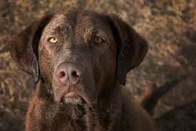 When Do Vizslas Shed Their Puppy Coat by Chesapeake Bay Retriever Dogtime