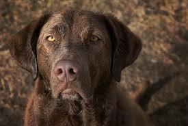 chesapeake bay retriever dogtime