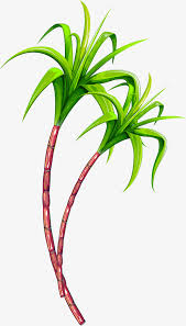 Green Simple Cane Fruit Clipart PNG Image And