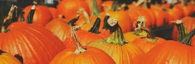 Old Auburn Pumpkin Patch by Pumpkins Visit The Pumpkin Patch At Stowe Farm