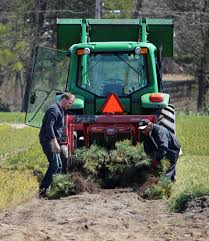 Canaan Fir Christmas Tree Needle Retention by Nonprofit Organization Archives Abbey Farms