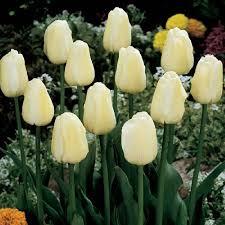 tulip bulbs for sale buy in bulk save