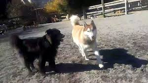 Hollycrest Bed And Biscuit by The Country Ranch Dog Boarding And Training Squamish Bc Gus 4