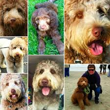 Do F1 Aussiedoodles Shed by The 7 Puppy Stages Aussiedoodle And Labradoodle Puppies Best