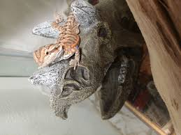 baby has dark nose patch shedding or bruise bearded dragon org