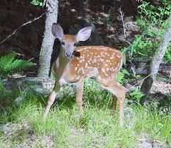 Does Deer Shed Their Antlers by Deer Wikipedia