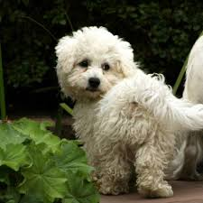 Non Shedding Dog Breeds Small by 8 Best Hypoallergenic Dog Breeds Canadian Living