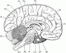 Brain Anatomy Coloring Book