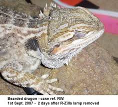 Bearded Dragon Heat Lamp Timer by Uv Lighting For Reptiles A New Problem With High Uvb Output