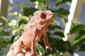Uvb Lamp Vitamin D3 by Much Ado About Chameleons The Importance Of Uvb Light And Sunshine