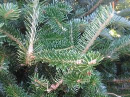 Silvertip Fir Christmas Tree by Pick A Perfect Christmas Tree Southern Living