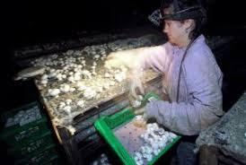 Uvb Lamp Vitamin D3 by Uv Light Turns Mushrooms Into Vitamin D Bombs Sciencenordic