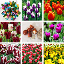shop free shipping 3pcs tulip bulbs not tulip seeds